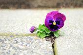 istock Purple Flower Growing in Crack of Cement 185078659