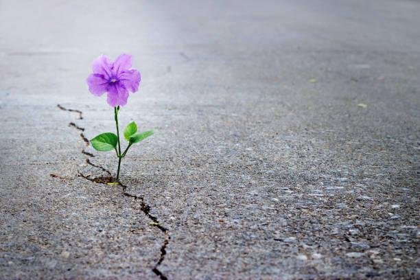fioletowy kwiat rośnie na ulicy crack, miękkie ostrości, pusty tekst - nadzieja zdjęcia i obrazy z banku zdjęć