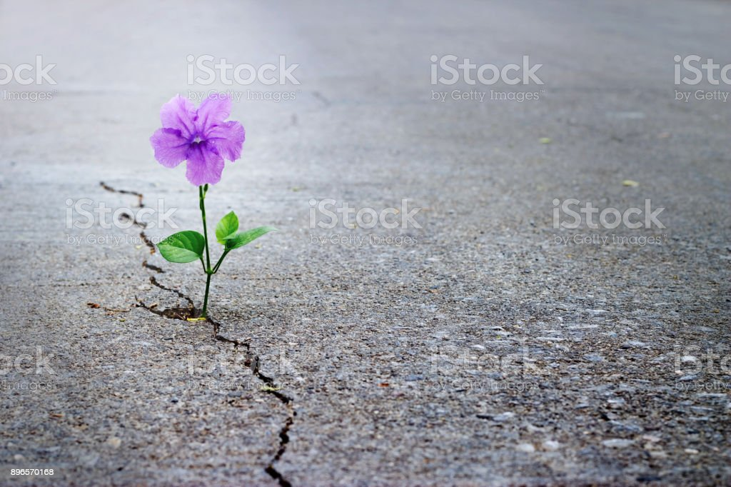 Purple flower growing on crack street, soft focus, blank text stock photo