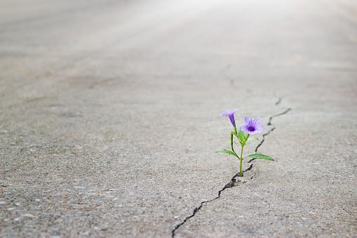 purple flower growing on crack street, soft focus
