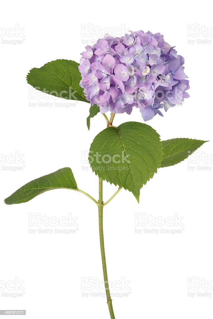 Purple flower hydrangea (Clipping path) stock photo