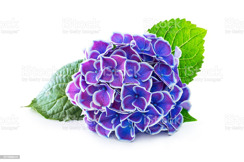 Purple flower hydrangea stock photo
