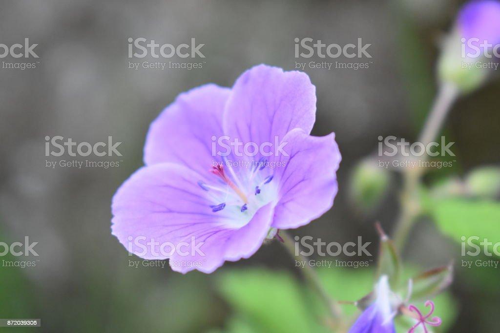 Purple Flower Iceland stock photo