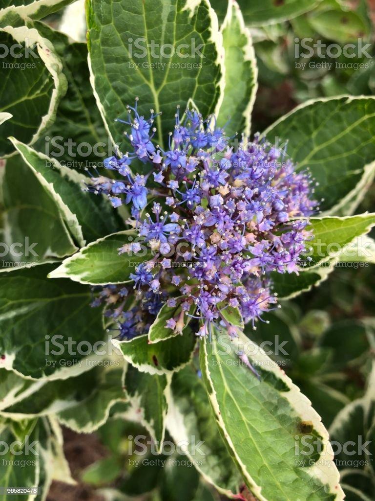 Purple flower in bloom - Royalty-free Beauty Stock Photo