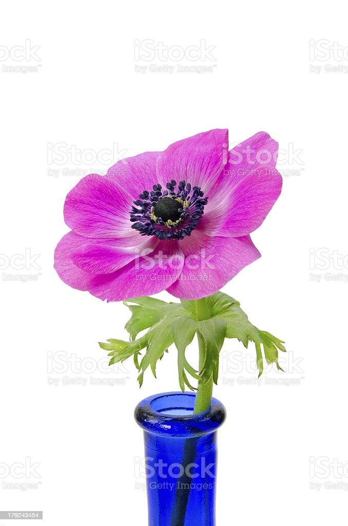Purple flower in blue bottle royalty-free stock photo