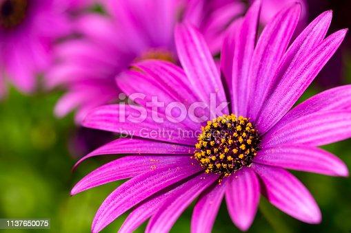 Purple flower in the garden; Osteospermum ecklonis. Spring season.