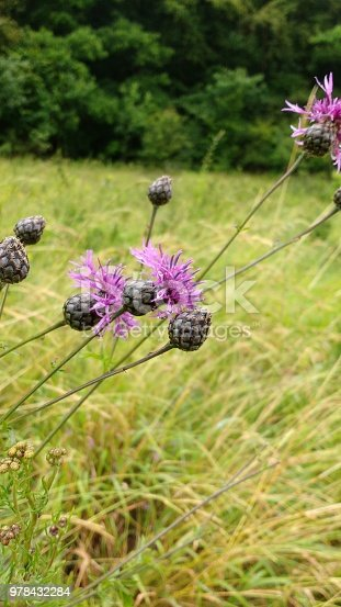 istock Purple Flower in the grass 978432284