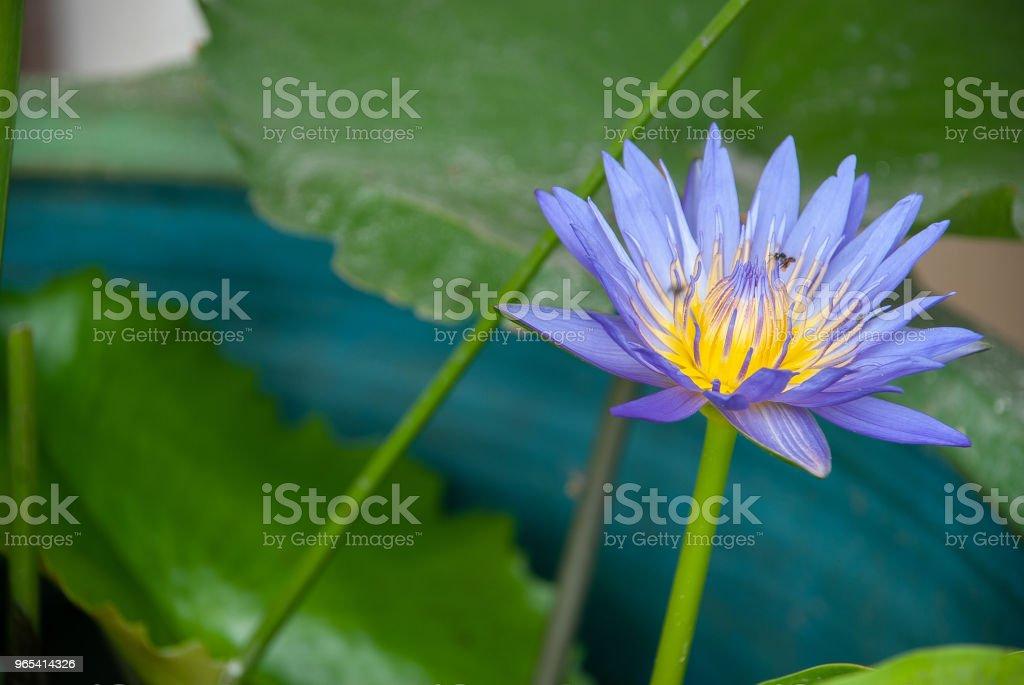 Fleur pourpre dans le vase - Photo de Feuille libre de droits