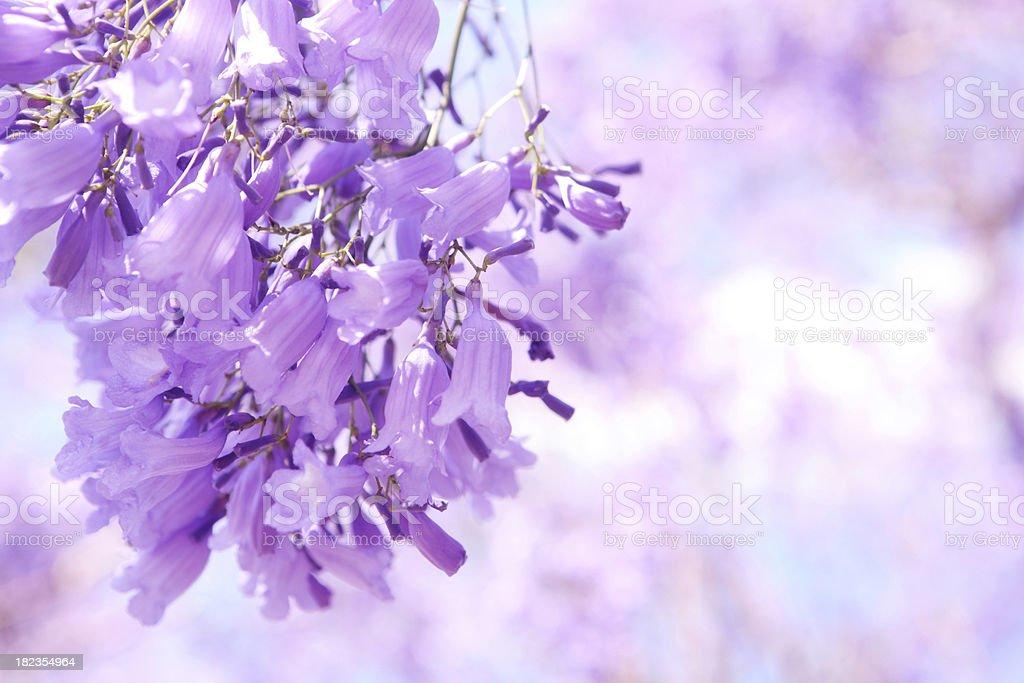 A purple flower known as a Jacaranda stock photo
