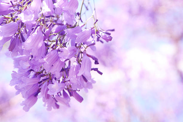A purple flower known as a Jacaranda stock photo