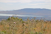 Flowers of the Bull Thistle plant grow in abundance on the dry foothills of the Wasatch Range. In the background, Utah Lake can be seen.