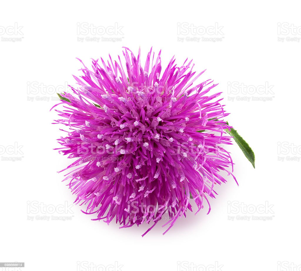 Purple flower of carduus with green bud. stock photo