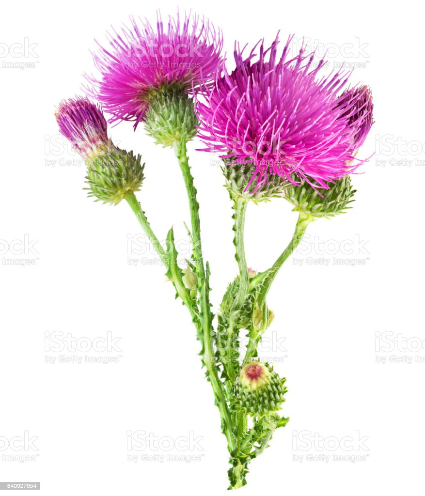 Purple flower of carduus with green bud. - foto stock