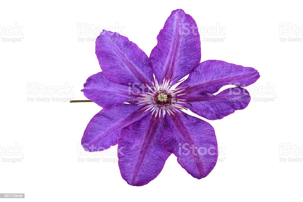 Purple Flower of Clematis stock photo