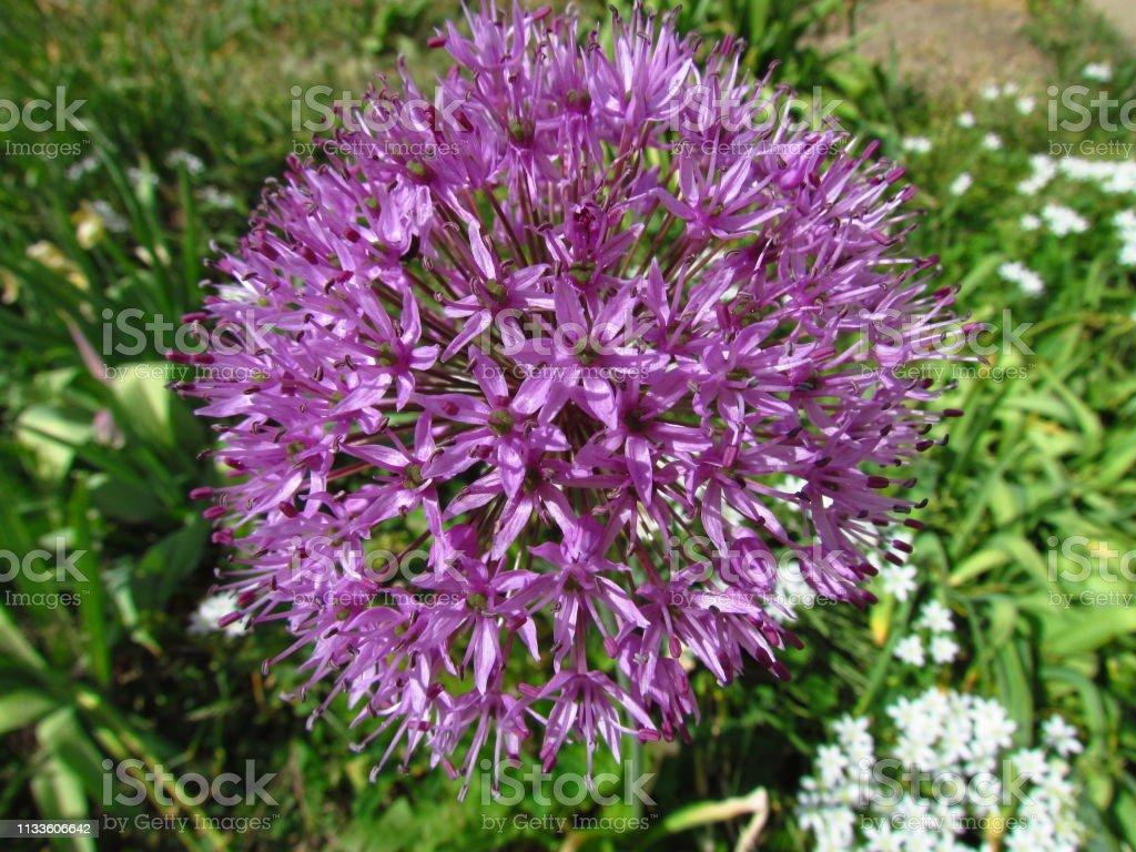 Paarse bloem van gecultiveerde tuin knoflook, botanische naam Allium foto