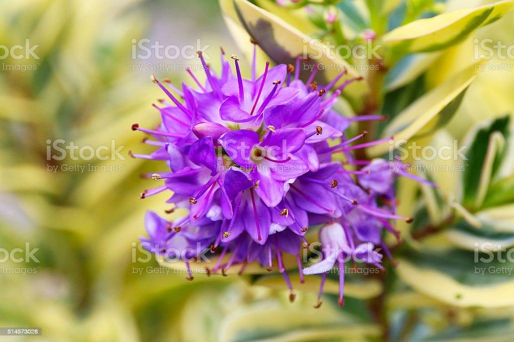 flor roxa de hebe porfiria variegada waireka arbustos planta de folha perene imagens de acervo. Black Bedroom Furniture Sets. Home Design Ideas
