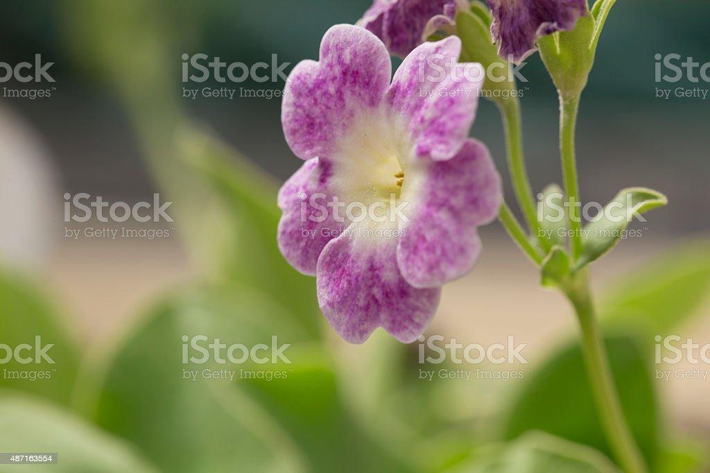 Purple Flower of Primula Auricula stock photo