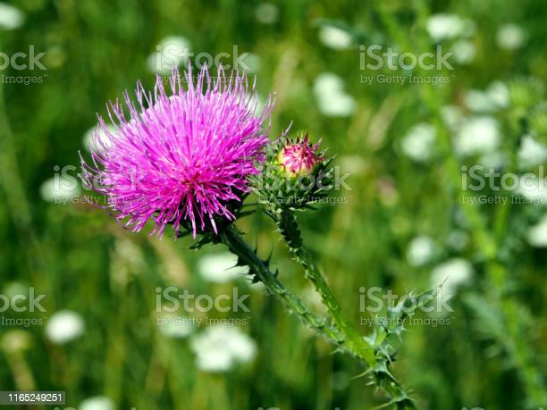 Purple flower of the thistle blooms in the meadow macro picture id1165249251?b=1&k=6&m=1165249251&s=612x612&h=ogpxxneclptbtlvbgax9rcy3b2mlc3gjuq5ottehxlc=