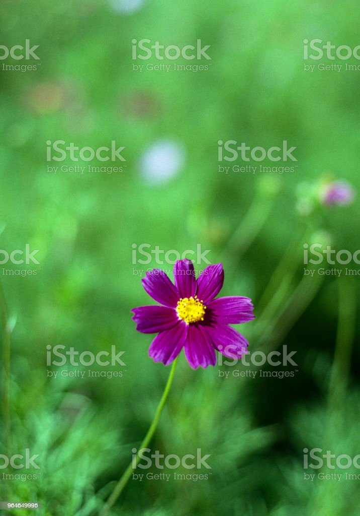 purple flower on a green background. Shot on film royalty-free stock photo