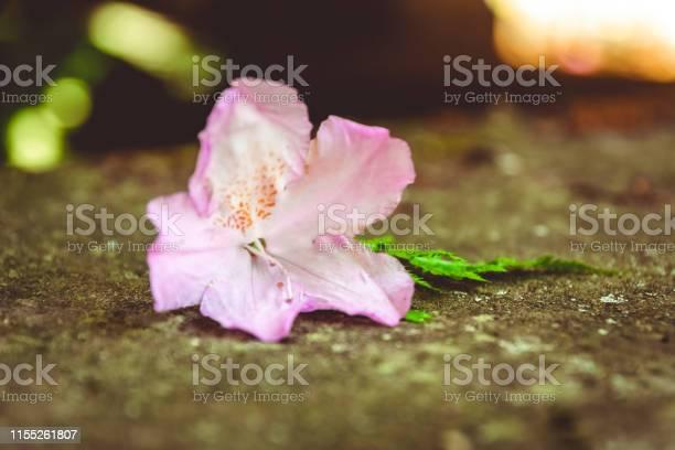 Purple flower on a stone picture id1155261807?b=1&k=6&m=1155261807&s=612x612&h=tbqfkw wihv0bwgtefcmt2zywbvwonmp6de7w1gkcou=