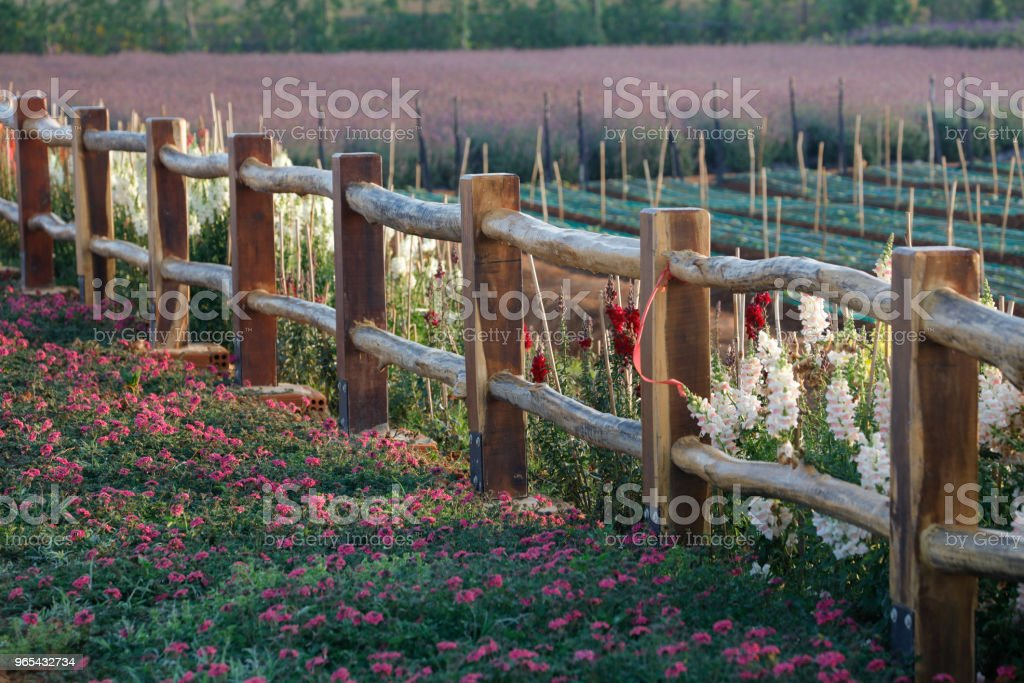 Purple flower on wooden fence royalty-free stock photo