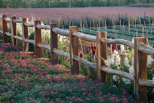 나무 울타리에 보라색 꽃 0명에 대한 스톡 사진 및 기타 이미지