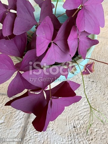 Purple Oxalis Triangularis houseplant in bright natural light.   Oxalis triangularis, commonly called false shamrock, is a species of edible perennial plant in the Oxalidaceae family. It is endemic to Brazil.   Three is often the magic number when it comes to Oxalis. The most common species grown as a houseplant is Oxalis triangularis which has three common names, False Shamrock, Purple Shamrock and Love Plant.