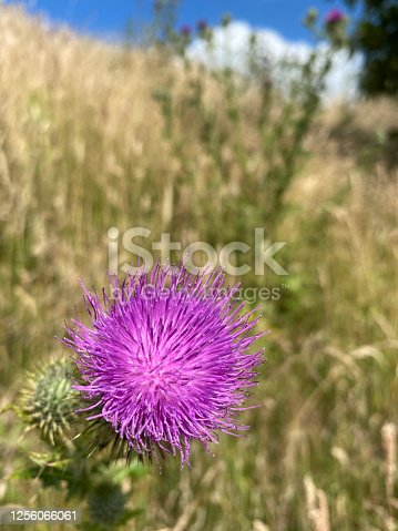 Bright purple flower in a meadow, with blue sky in the background. Taken in England during summer time.