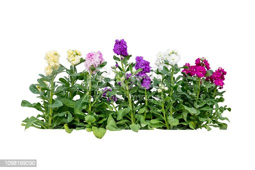 purple flower plant tree isolated include clipping path
