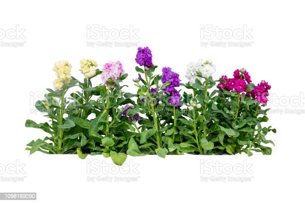 Purple flower plant tree isolated include clipping path picture id1098169250?b=1&k=6&m=1098169250&s=612x612&h=ycogh9e5ta 1agcgf9fximdl vikgmnxnbh5jnpbwxc=