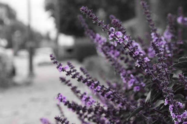 Color selectivo flor morada - foto de stock