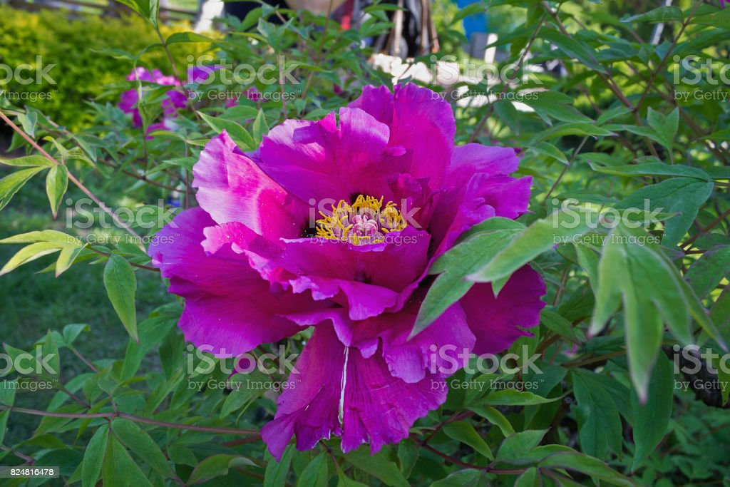 purple flower tree peony stock photo
