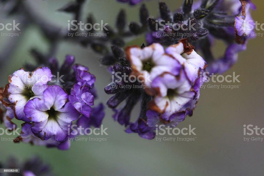 Purple flower tree royalty-free stock photo