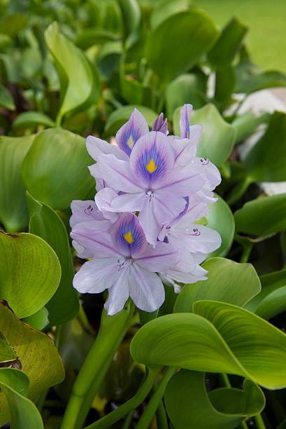purple flower tropical gardens costa rica stock photo