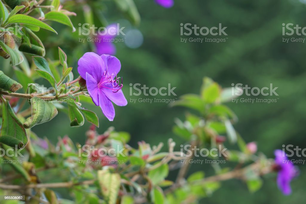 Purple flower twisted stamen royalty-free stock photo