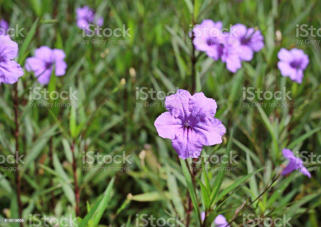 Purple flower which thai people called cracker plant known as weed purple flower which thai people called cracker plant known as weed and herb royalty mightylinksfo