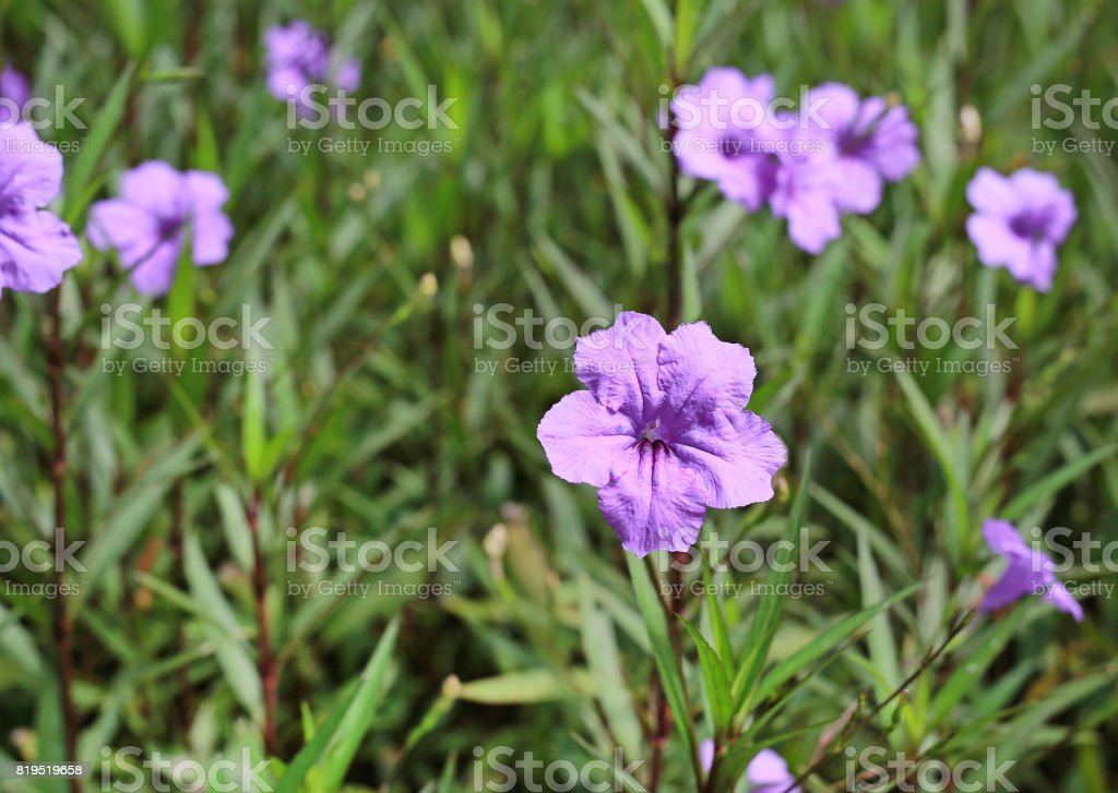 purple flower which Thai people called cracker plant known as weed and herb. stock photo