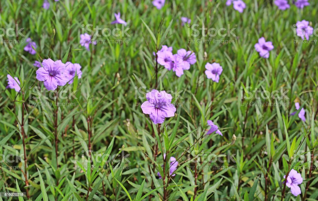 purple flower which Thai people calls craker plant known as weed and herb. stock photo