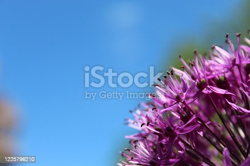 Close up photo of an allium purple sensation with beautiful blue sky in the background. Focus point is on the bright purple flowers. Taken during full blossom in spring (May) in the UK.