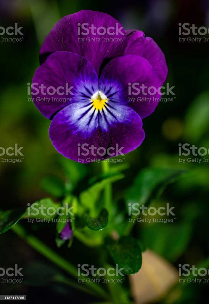 purple flower with white and yellow stock photo