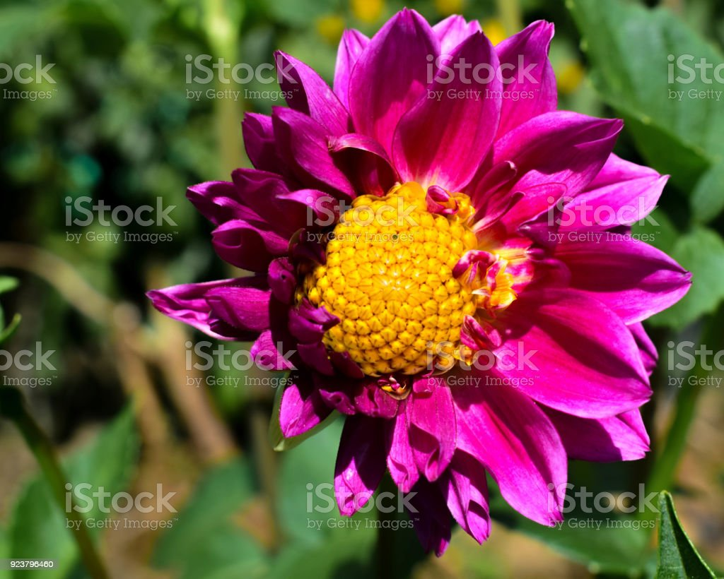 Purple Flower With Yellow Seeds At The Center Stock Photo More