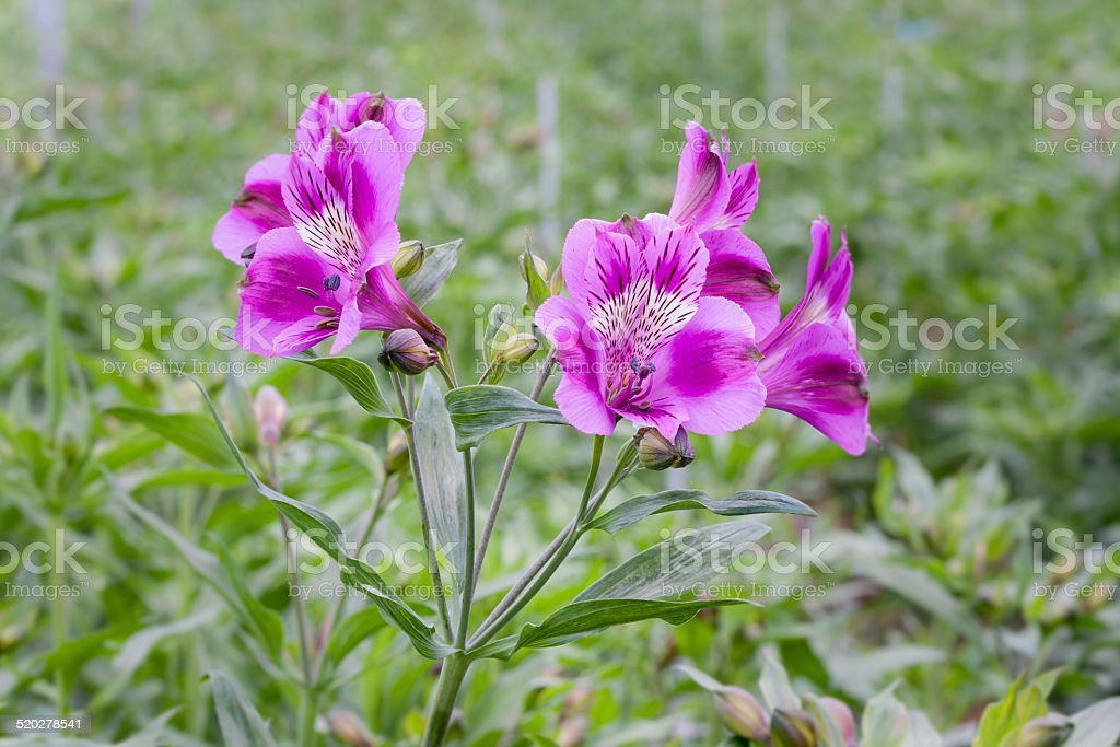 Purple flowering alstroemeria in Dutch greenhouse with selective focus stock photo