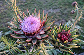 Purple Flowering Artichoke (Cynara Scolymus)