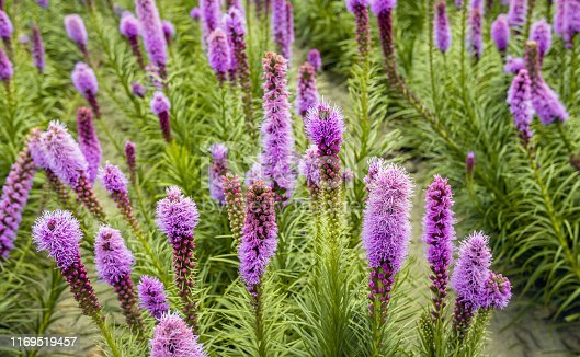 Colorful image with a closeup of rows of purple flowering and budding dense blazing star or Liatris spicata plants cultivated at a specialized Dutch plant nursery. It is a sunny day in summertime.