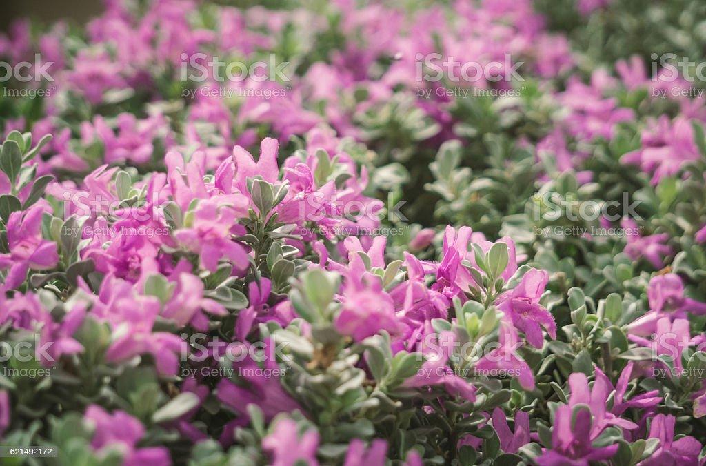 Purple flowering purslane photo libre de droits