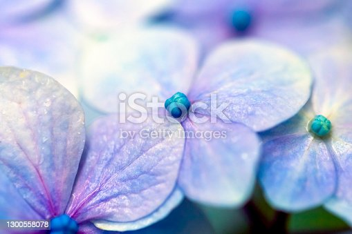 istock Purple flowers after the rain, background with copy space 1300558078