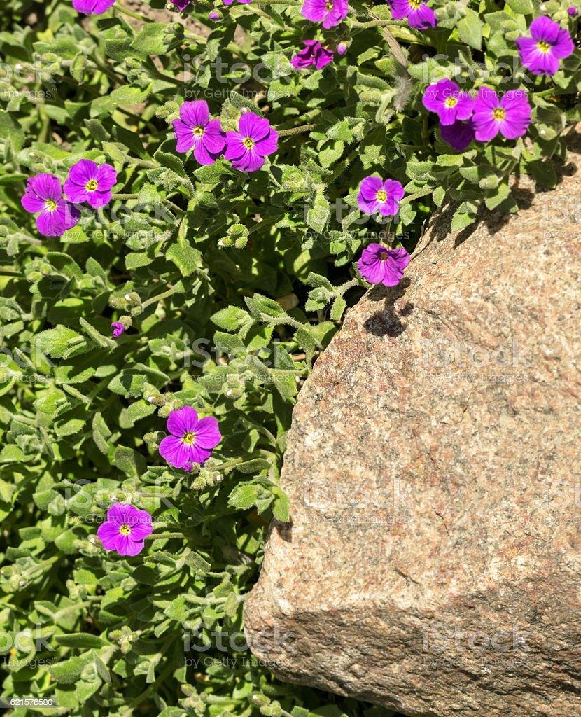 Purple flowers at stone photo libre de droits