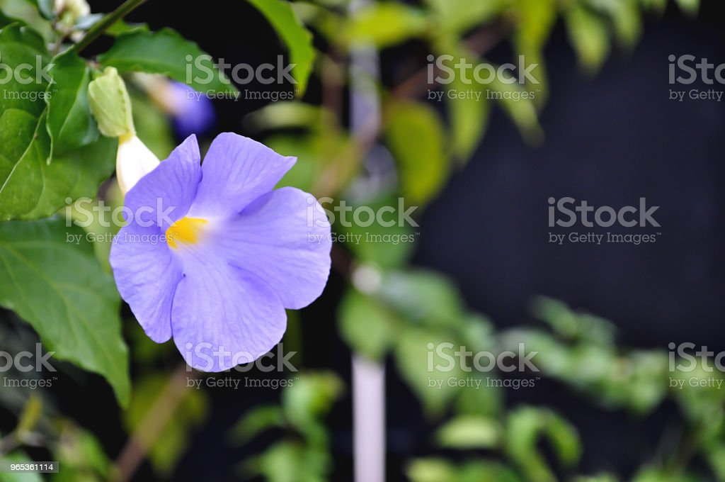 Purple flowers blooming in the garden. royalty-free stock photo