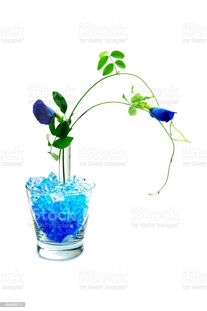 Purple flowers 'Butterfly Pea' on a white background. stock photo