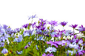 Purple flowers Cape daisies isolated on white background, full frame horizontal composition with copy space